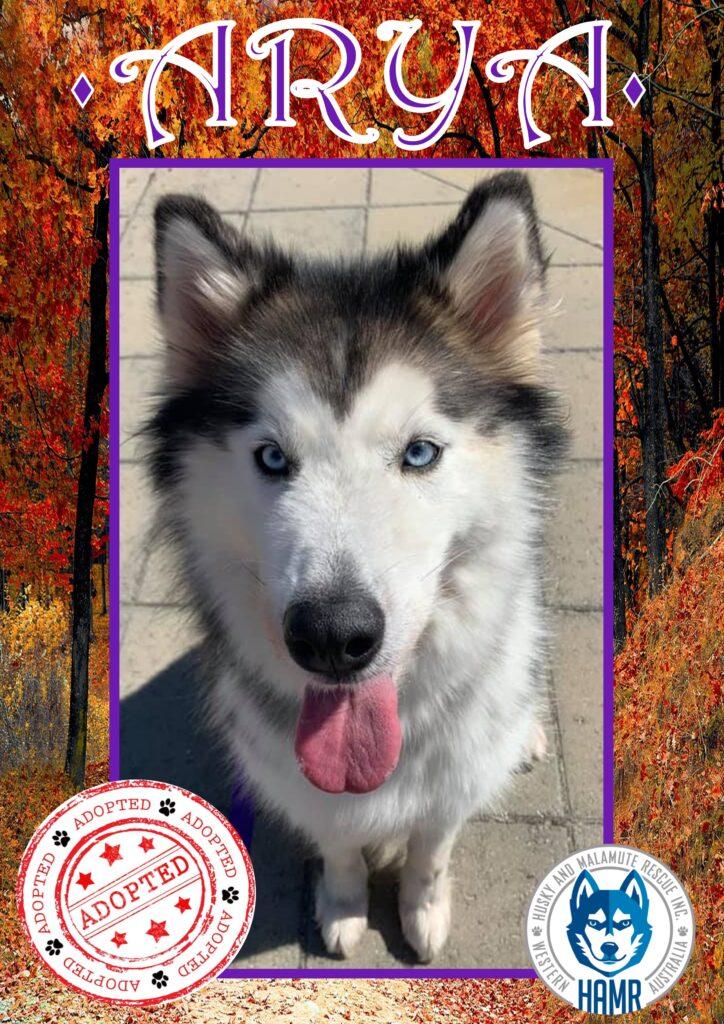 Husky and Malamute Rescue Inc Perth WA HAMR Siberian Husky Alaskan Malamute